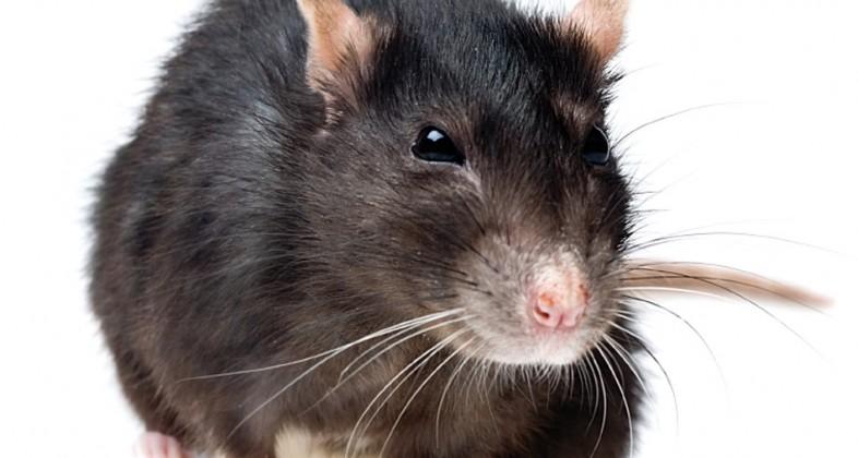Welches Haustier? Intelligent, verspielt, familientauglich: Ratten